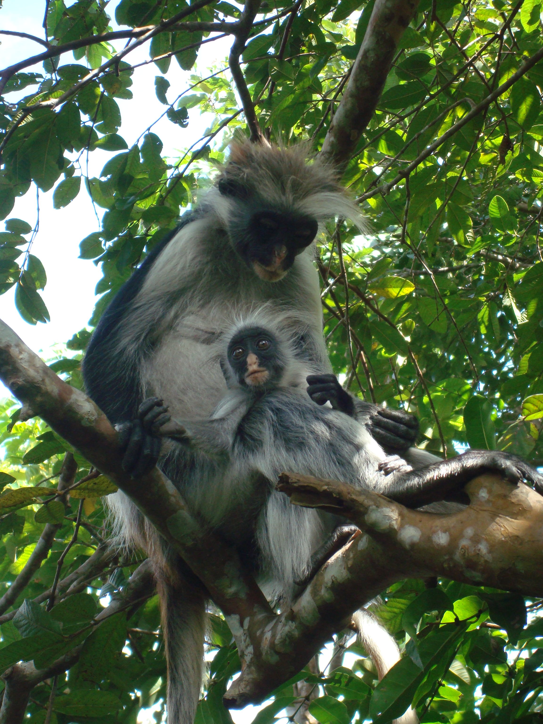 Jozani-Forest-Zanzibar-Tanzania-tours-holiday-Africa