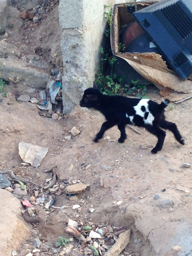 There are lots of goats and other animals running loose around the neighbourhood Just another one of the neighbours